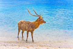Deer with big horns in ocean. Landscape in a sunny day royalty free stock image