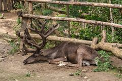 Deer with big horns resting. The deer is very proud of its big horns. Even in peace, he does not lower them to the ground. Big horns - a symbol of the power and royalty free stock images