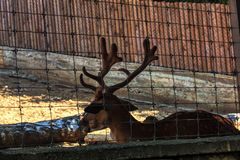 Deer with big horns. Standing in zoo royalty free stock photography