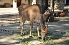Eland antelope Stock Photography