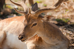 Deer with big stage. Deer with big horns in the foreground Royalty Free Stock Photography