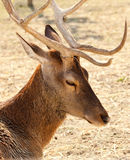 Deer with big stage. Deer with big horns in the foreground Stock Photo