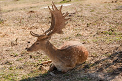Deer with big stage sitting. Deer with large horns sitting Royalty Free Stock Image