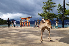 A deer with big Torii gate at Miyajima, Japan Stock Photo