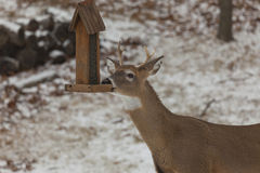 Deer at the Bird Feeder. A photo of a whitetail deer (Male) at a bird feeder. There is a dusting of snow in the background Stock Photo