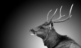 Deer on black and white. A deer on black and white Royalty Free Stock Images