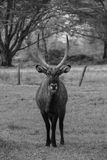 Deer black&white. Deer standing tall with his horns Stock Photo