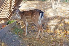 Deer with black-yellow-white soft hair near the feeders. In the aviary in the park stock photos