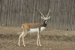 Deer (Blackbuck deer , Antilope cervicapra). Royalty Free Stock Images
