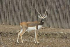 Deer (Blackbuck deer , Antilope cervicapra). Royalty Free Stock Images