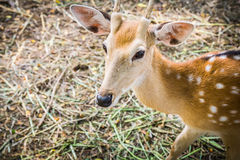 Deer at Bonanza Exotic Zoo in Thailand Stock Photography