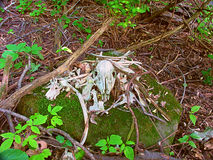 Deer Bones Wisconsin Forest Royalty Free Stock Images