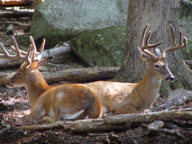 Deer Bookends. Two deer back to back resting at Yellow River Game Ranch lilburn Ga stock photography