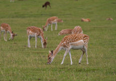 The Deer of Bradgate Park, Leicestershire Stock Image