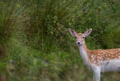 The Deer of Bradgate Park, Leicestershire Stock Images