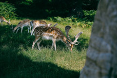 Deer in Bradgate Park, UK Royalty Free Stock Photography