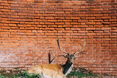 Deer by Brick Wall Stock Photo