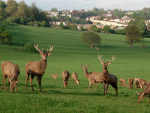 Deer in bristol. A field of deer at Ashton Court, Bristol Royalty Free Stock Photos