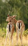 Deer brothers. Fallow deer ( Dama ) brothers standing together in a glade Stock Image