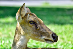 Deer (brow-antlered) Royalty Free Stock Photography