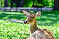 Deer (brow-antlered) Stock Image