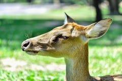 Deer (brow-antlered) Royalty Free Stock Photo