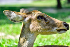 Deer (brow-antlered) Stock Images
