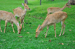 Deer (brow-antlered) Stock Images