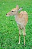 Deer (brow-antlered) Royalty Free Stock Images