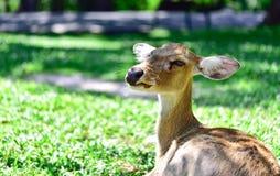 Deer (brow-antlered) Royalty Free Stock Image