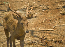 Deer Buck Stock Photography