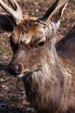 Deer Buck Royalty Free Stock Photo