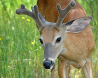 Deer buck Stock Photo