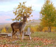 Deer buck in an enclousure Stock Images
