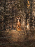 Deer buck in the forest Royalty Free Stock Image