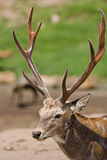 Deer. A buck with full antlers Stock Images