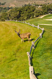 Deer buck on a golf course by a fence Royalty Free Stock Photo