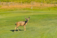 Deer buck on a golf course by a green Royalty Free Stock Image