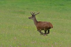 Deer buck with growing antler grazing the grass. Stag deer with growing antler to lie down on the grass royalty free stock photos