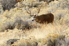 Deer buck with large antlers. Deer Mule Deer buck with large antlers, California, Tulelake, Tule Lake National Wildlife Refuge, Taken 11.16, Copyright David royalty free stock photos