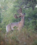 Deer buck at licking branch Stock Photo