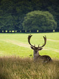 Deer Buck sitting against countryside backdrop. Fallow Stag / deer with antlers in English Countryside Royalty Free Stock Photo
