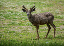 Deer buck in velvet. A deer buck with a mouth full of grass and plants grazes in Waterton lakes national park Royalty Free Stock Photos