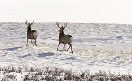 Deer Buck in Winter royalty free stock photography
