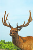 Deer buck in wood Stock Image
