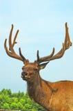 Deer buck in wood Stock Image