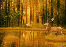 Deer Bucks in summer sunset light standing in an opening in woods Royalty Free Stock Images