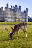 Deer at Burghley House Royalty Free Stock Images