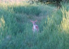 Deer in the bush. A photo of a deer in the wild Royalty Free Stock Image