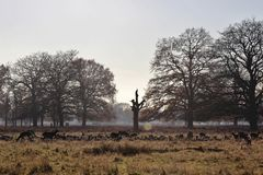 The Deer of Bushy Park. Taken on a crisp winter morning - this is a picture of a herd of deer in Bushy Park, London Stock Images